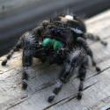 spiderjumping